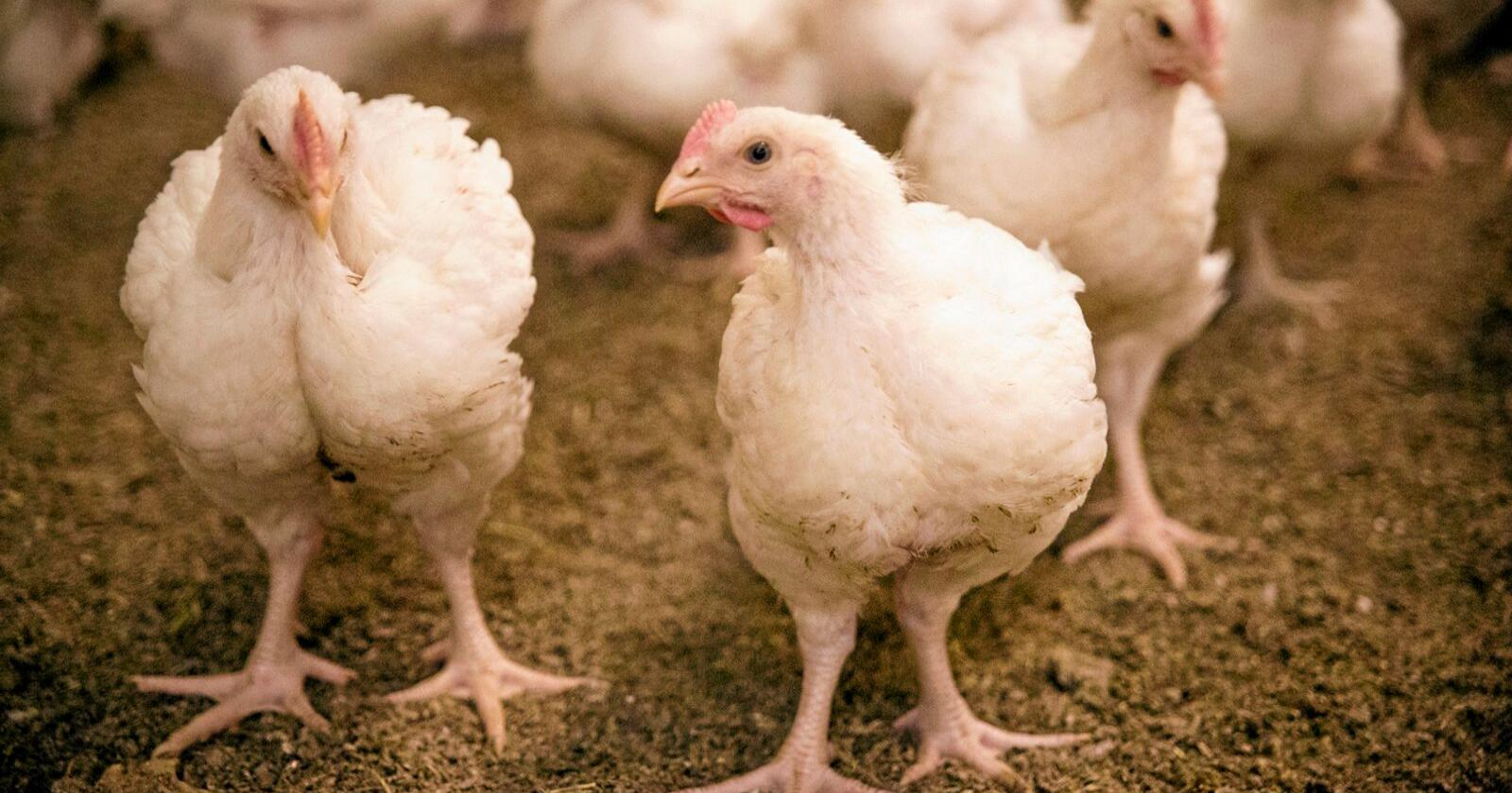 Norsk Kylling ber om dialog med Mattilsynet etter at tilsynsmyndigheten ba dem stanse bruken av en rapport som roste kyllinghybriden som eksklusivt brukes i deres produksjon. Foto: Dyrevernalliansen
