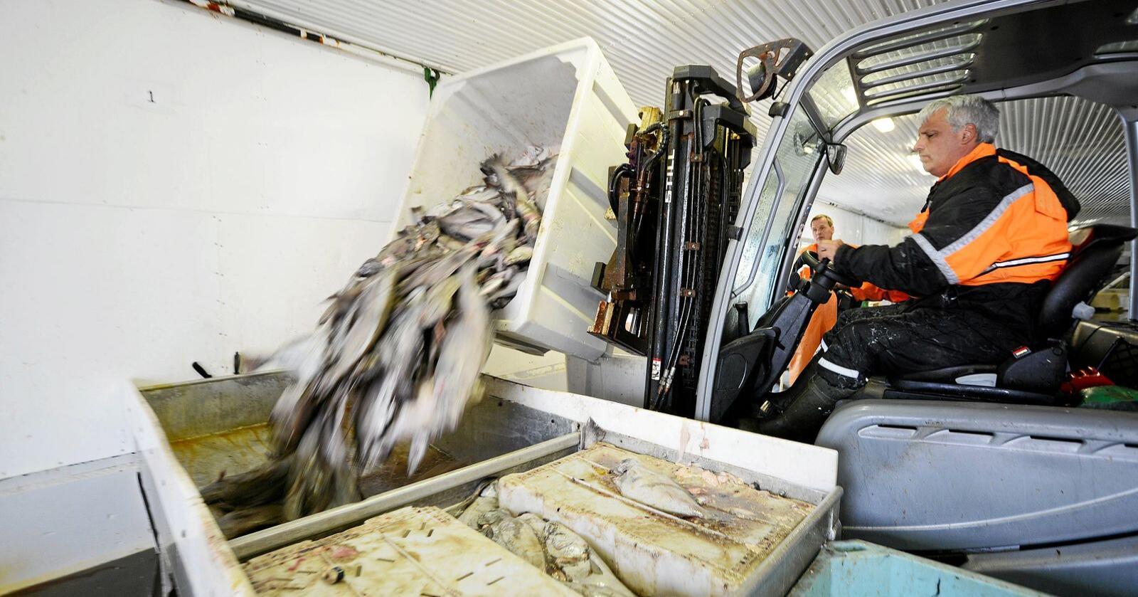 Stopp: Utenlandsk arbeidskraft driver i stor grad toppene i fiskeforedlingsindustrien. Illustrasjonsfoto: Siri Juell Rasmussen