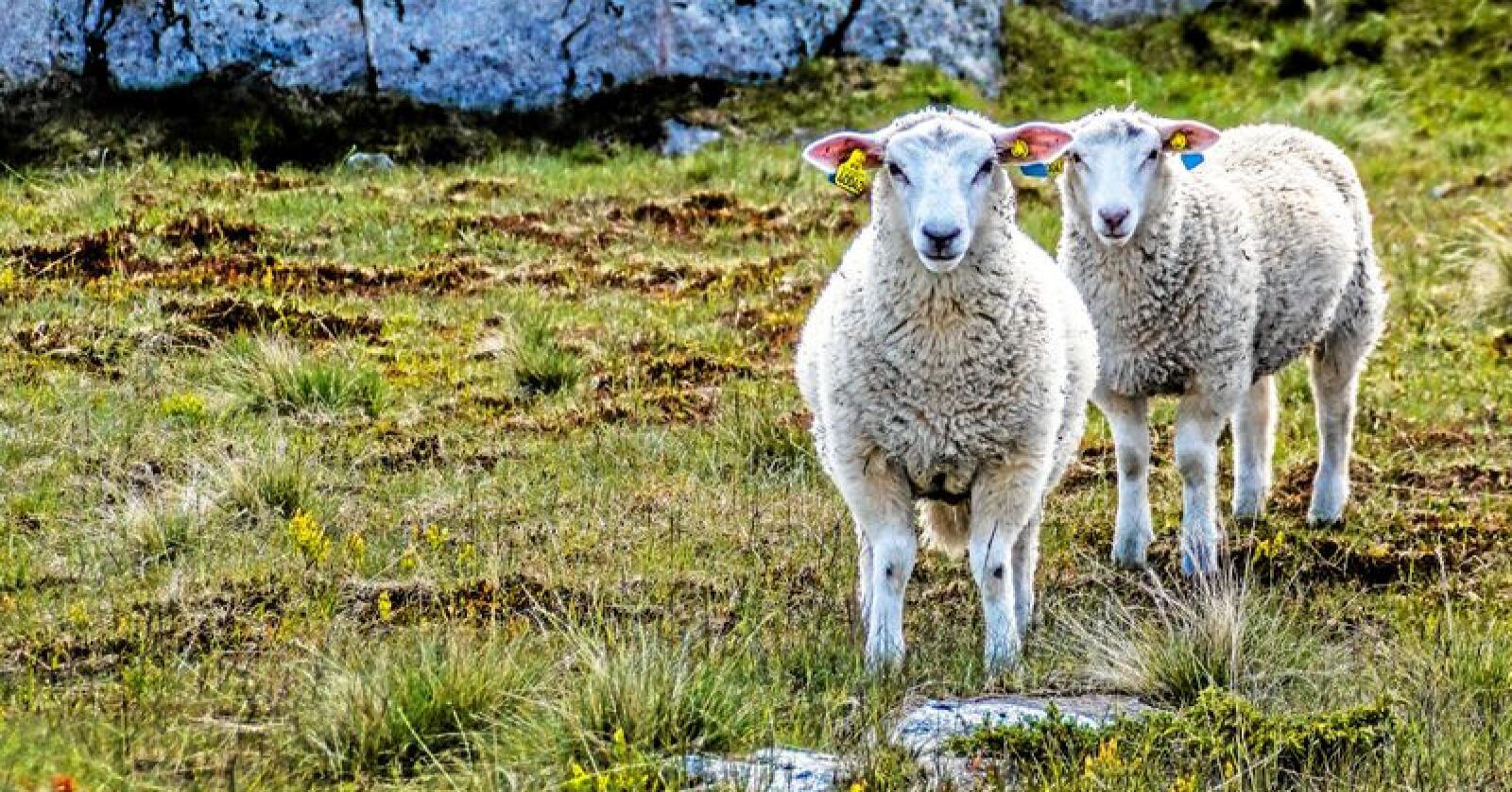 Storbritannia er storprodusent av lam. Foto: Stephanie / Mostphotos