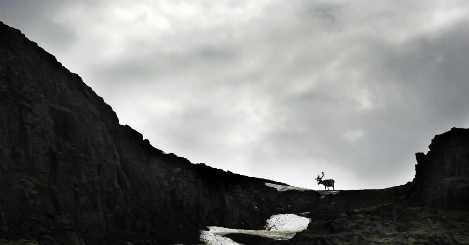 Dystert: Et varmere Arktis øker smittetrykket for Svalbard-villreinen. Foto: Siri Juell Rasmussen