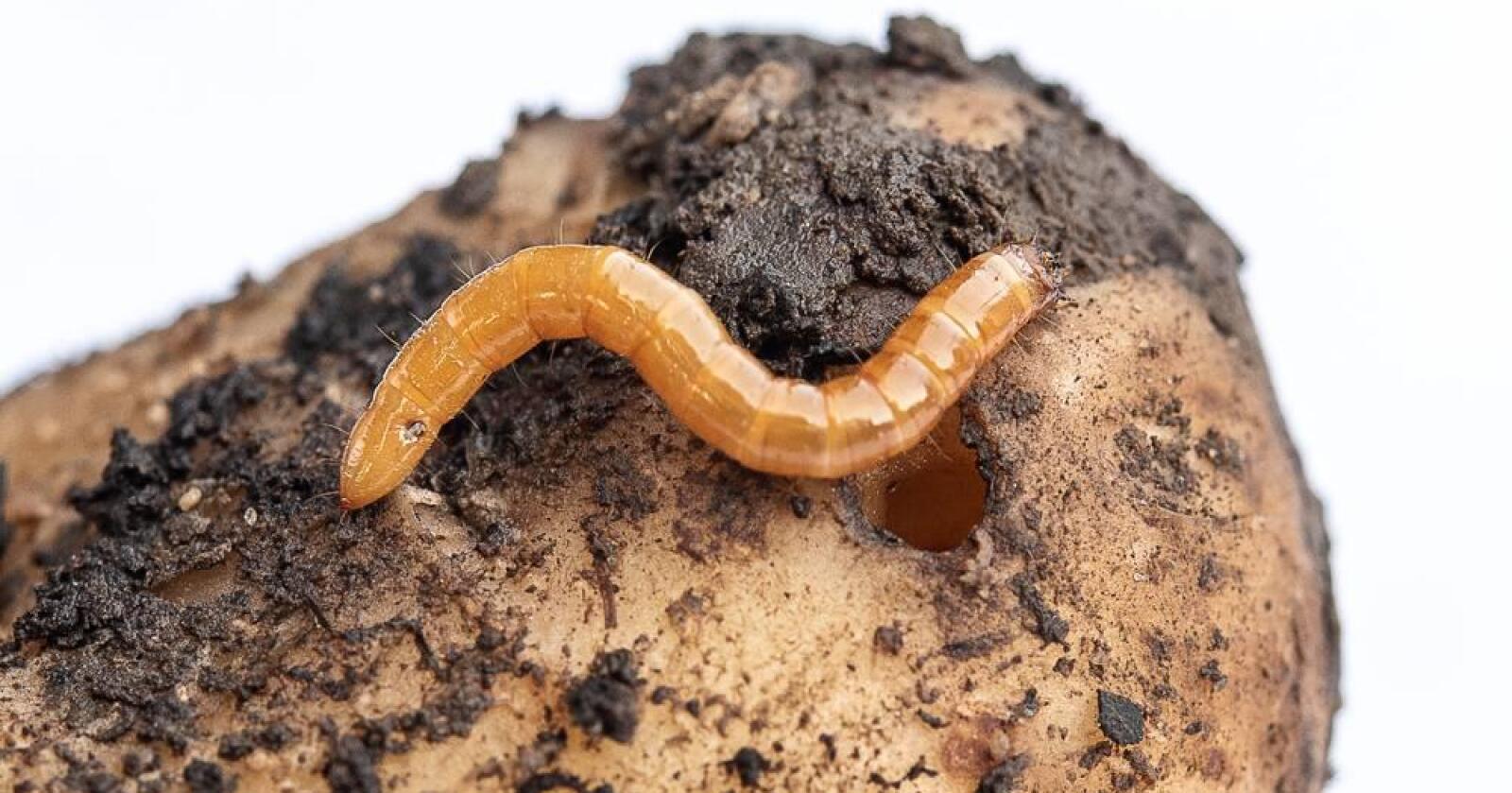 BLIR FLERE: Ifølge NIBIO er kjølmark et økende problem i Norge. De spiser hull i poteter og kan gi avlingssvikt i korn. Foto: Erling Fløistad
