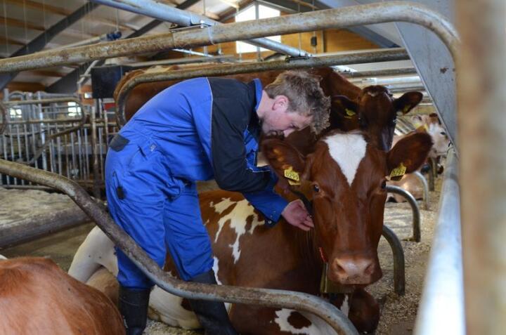 Ole-Erik Dufseth har lagt til rette for ku- og kalv, for eksempel med ekstra god plass mellom liggebåsrekka og ytterveggen.  Foto: Liv Jorunn Denstadli Sagmo