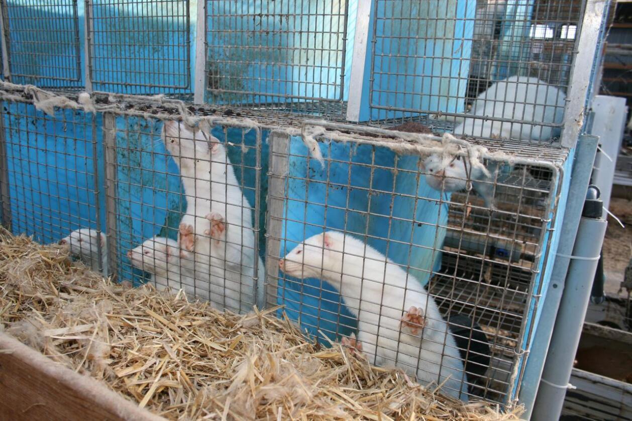 Fleire pelsdyrbønder har ikkje fått høyringsbreva sine om lova om forbod mot pelsdyroppdrett offentleggjort på Landbruksdepartementet sine sider. No blir Sivilombodsmanne beden om å vurdere om det er rett. Foto: Bjarne Bekkeheien Aase