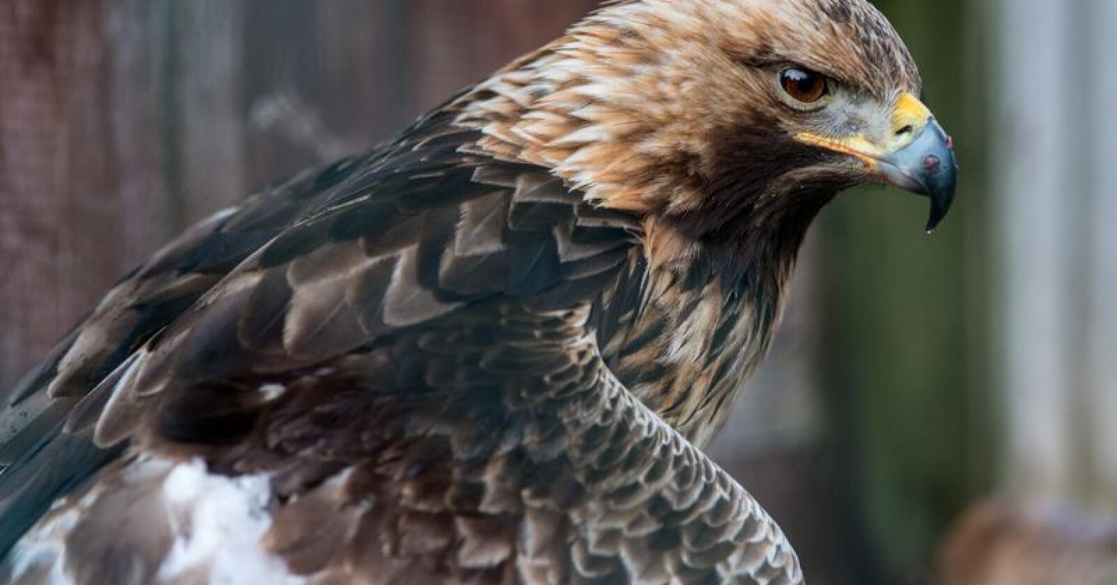 Senterpartiet fremmer forslag om flere endringer i rovdyrforvaltningen, blant annet større jakt på ørn. Foto: Ketil Blom Haugstulen