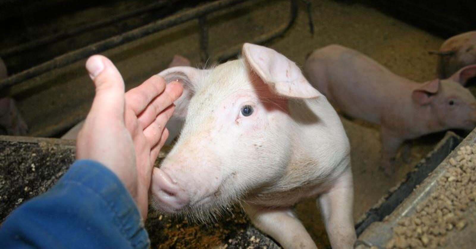 Dyrevelferd: Svært mange svineprodusenter har meldt seg inn i Dyrevelferdsprogrammet, og 1. januar skal alle være med. Foto: Bjarne Bekkeheien Aase.