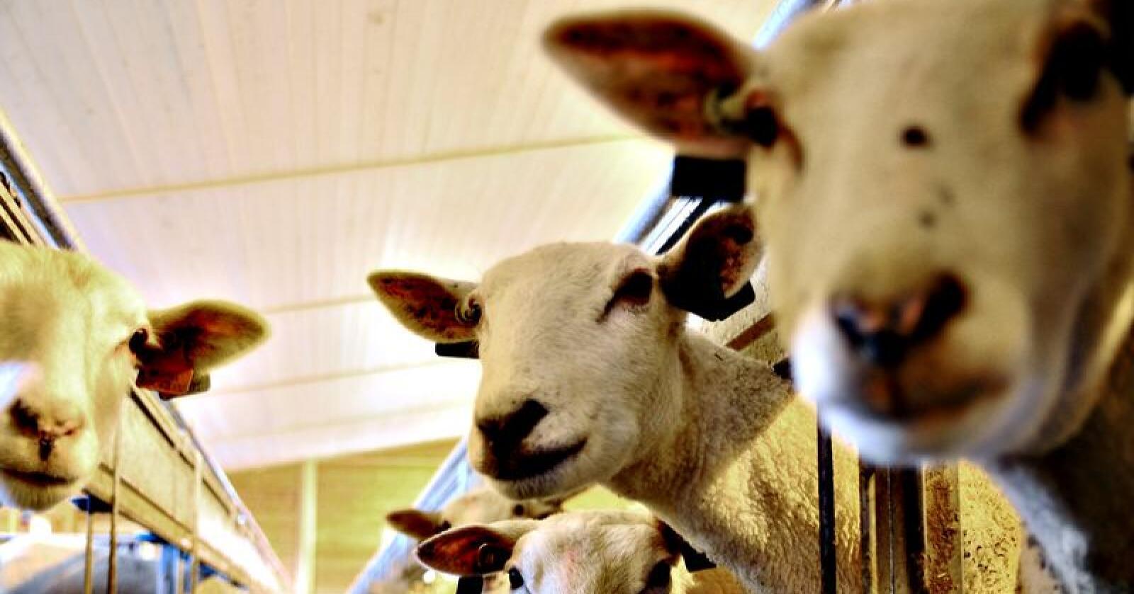 Sauebønder i Sverige er blant yrkesgruppene som er blitt truet og trakassert av ekstreme, svenske dyrevernsaktivister. Men også melkebønder, eggprodusenter og hesteeiere rammes. Dyrene på bildet har ingenting med saken å gjøre. Foto: Illustrasjonsfoto Bondebladet