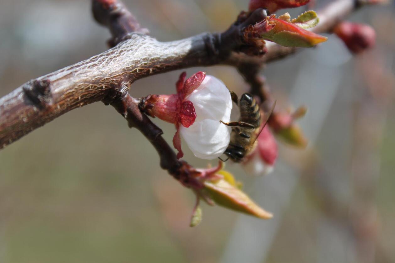Å dyrke biemat på marginale arealer og menneskemat på de gode arealene kan være mer til hjelp for biene enn forbud mot alle verdesn sprøytemidler.