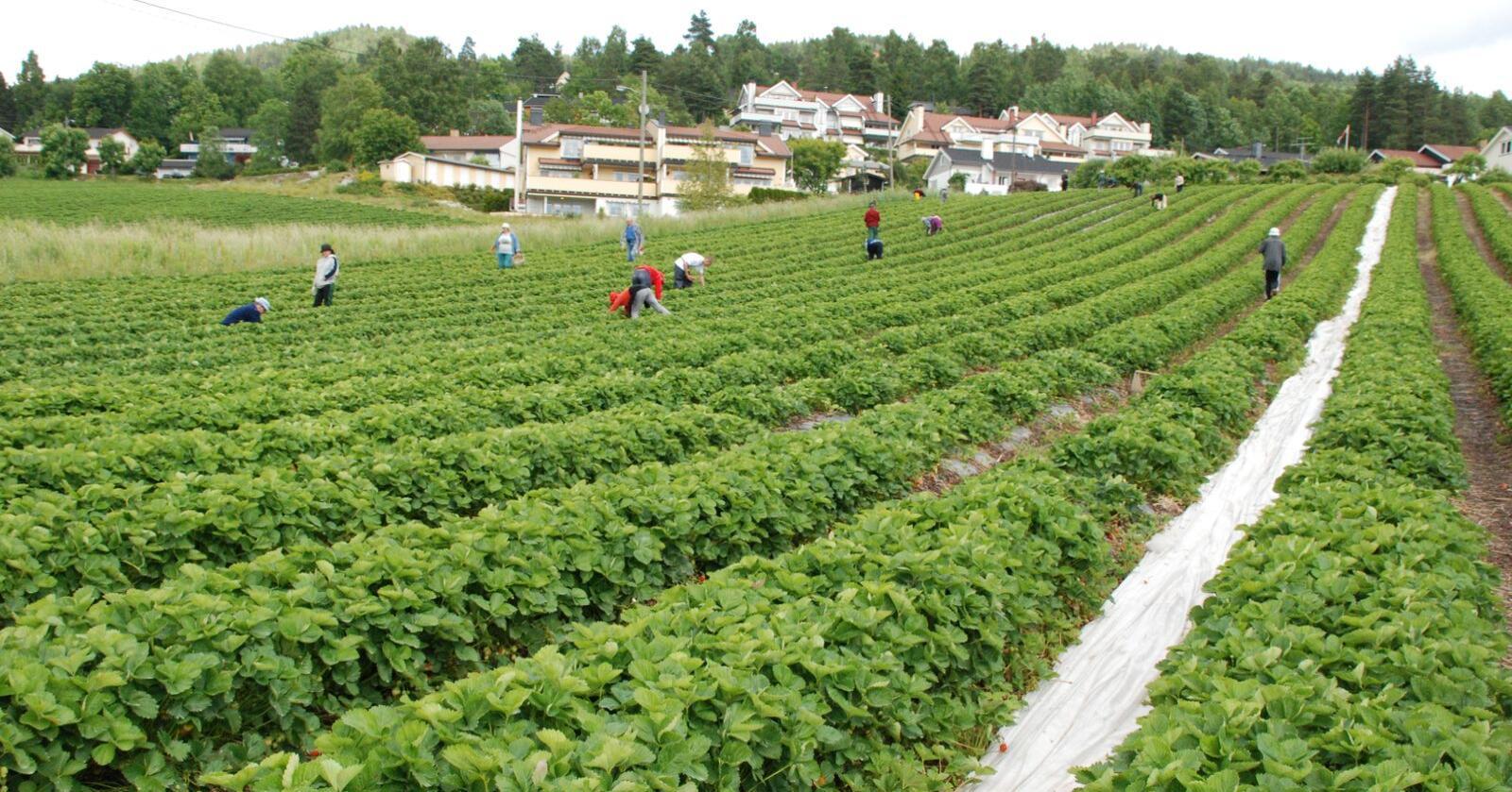 Norske jordbærprodusenter har tatt inn flere nye, norske sesongarbeidere i år som følge av særskilt stort behov for arbeidskraft. Foto: Ellen Munden Paalgard