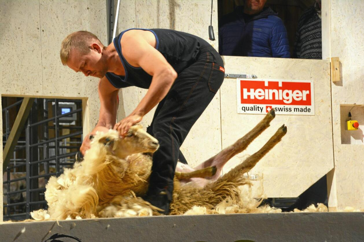 Åsmund Kringeland klippet 15 sauer på 15 minutter i finalen. Det sikret ham NM-tittelen. Foto: Norsk sau og geit