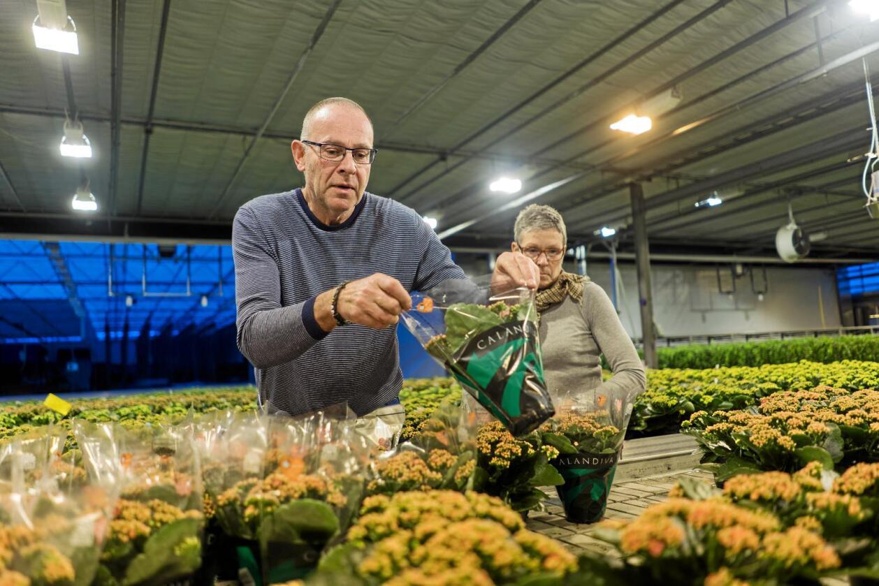 Importpress: Ole Martin Hegg og Anne Berit Stene Hegg har mått kutt kraftig i produksjonen av blomen ildtopp dei siste åra etter konkurranse frå tollfri import. Foto: Ketil Blom Haugstulen