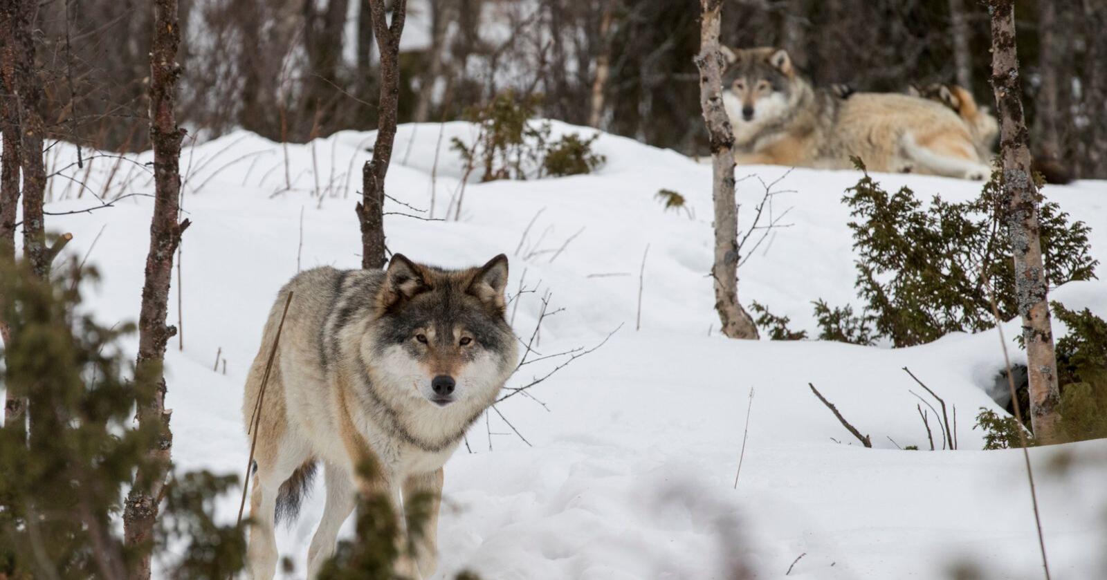 Arbeiderpartiet og Sosialistisk Venstreparti ønsker ikke å senke bestandsmålet for rovdyr i Norge. Foto: Heiko Junge / NTB