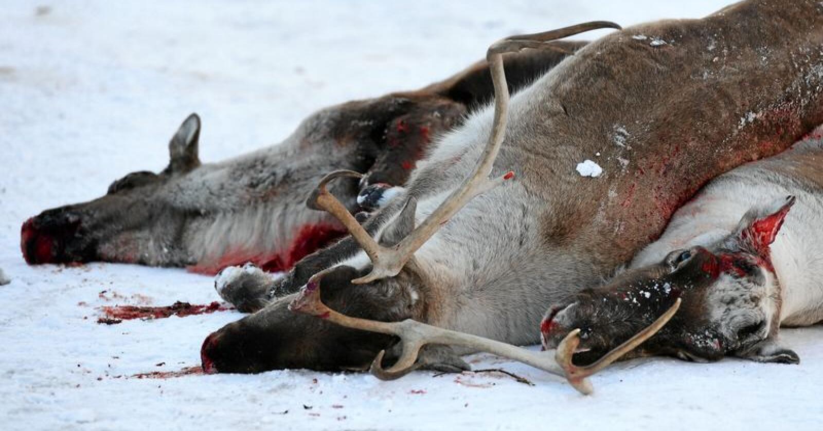 CWD: Det er påvist smittsom skrantesjuke på villrein i Nordfjella. Villreinstammen i sone 1 er avliva og fjerna, skriver Mattilsynet. Her fra fellingen i 2017. Foto: Marit Hommedal / NTB scanpix