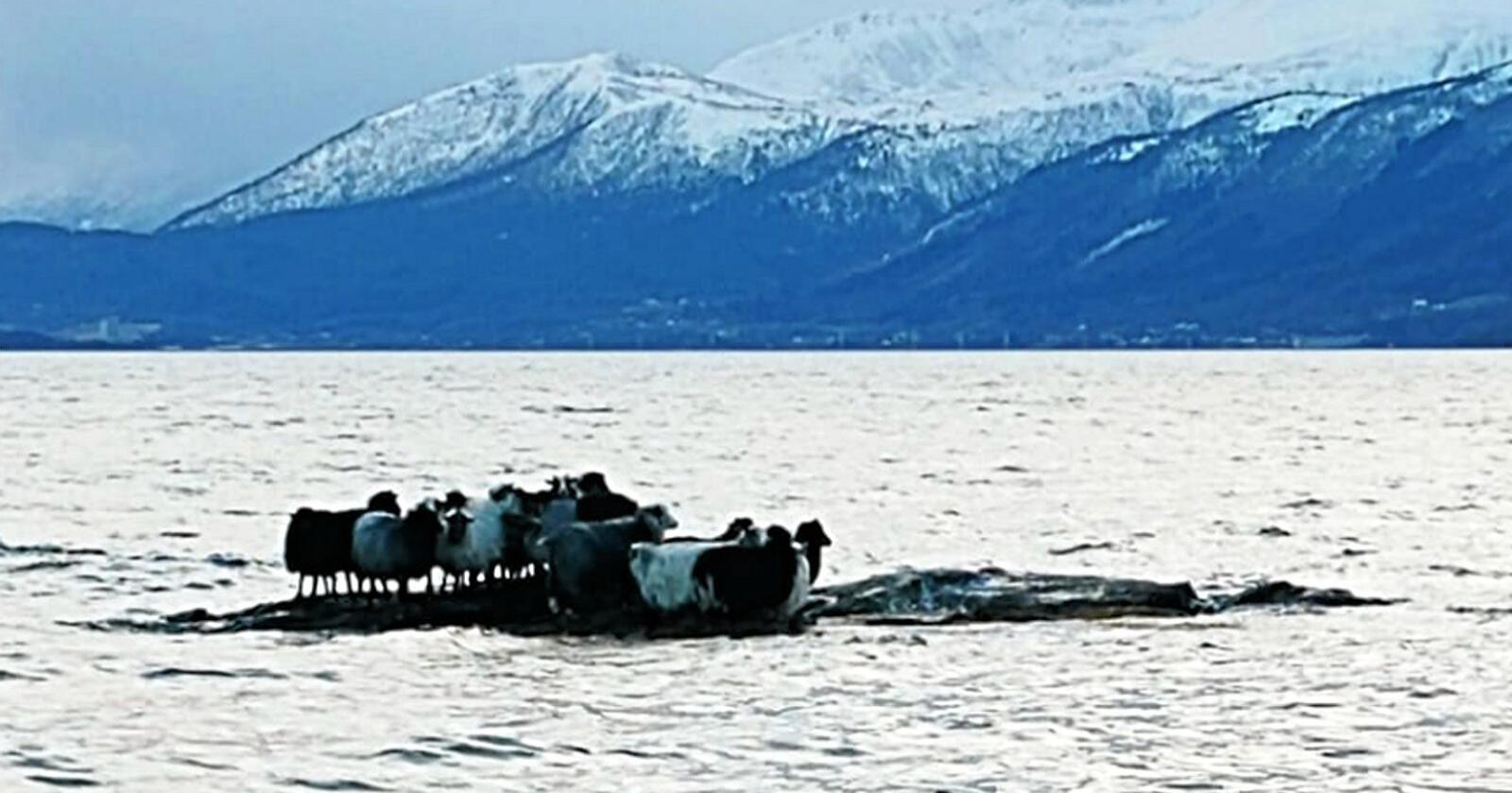 Sauene hadde vandra ut på eit skjer frå Hjertøya utanfor Molde. Så kom floa og fjerna vegen tilbake. Foto: Odd Terje Heimen