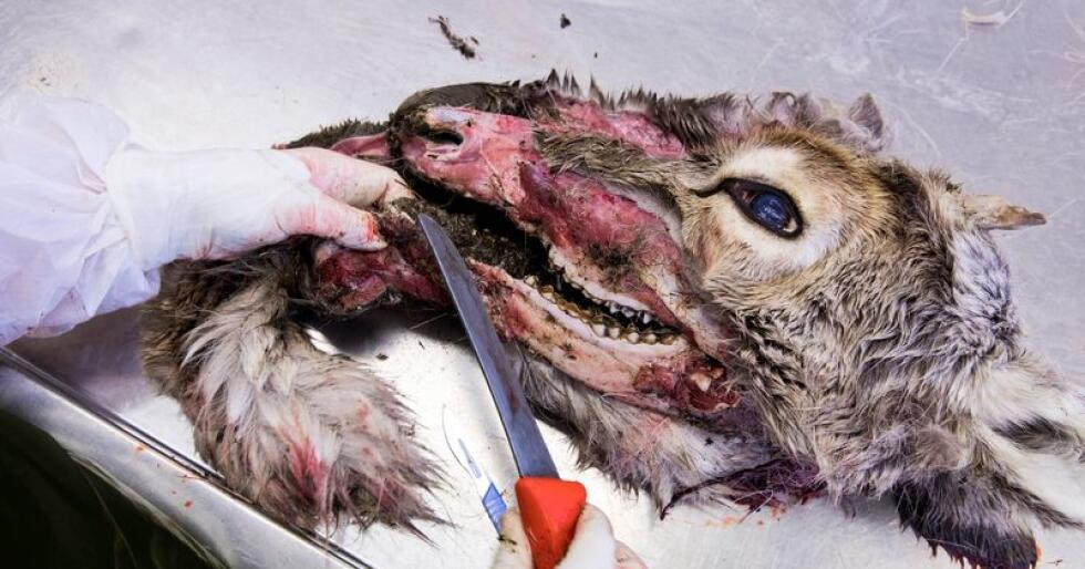 Eit reinsdyr blir undersøkt for skrantesjuke ved Veterinærinstituttet. Illustrasjonsfoto: Tore Meek / NTB scanpix/ NPK