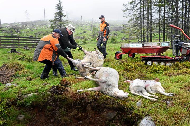 Døde sauer fraktes til nærmeste vei, så det blir enklere for kadaverbilen å samle de opp.  Alle foto: Mariann Tvete