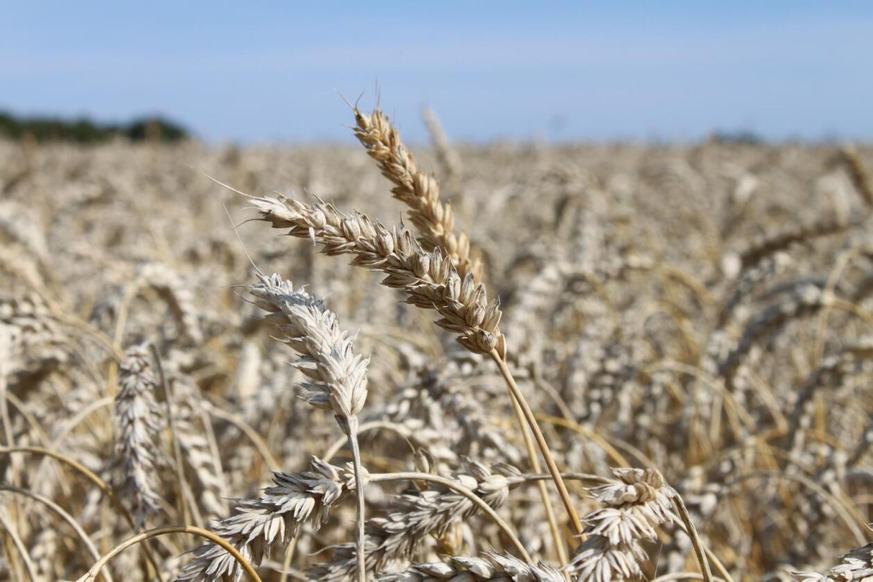 Mer hveteforskning: Den nasjonale foreningen for hvetedyrkere i USA krever større ressurser til avl, avlsteknologi, jordhelse, sopp, kjemi og ugraskontroll i hvete, enn hva som er situasjonen i dag.