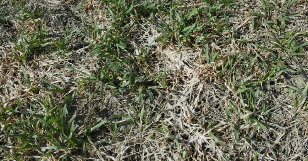 Høsthveten rakk å vokse godt før vinteren, og ble frodig og næringsrik. Det liker snømuggsoppen. Arkivfoto: Karl Erik Berge
