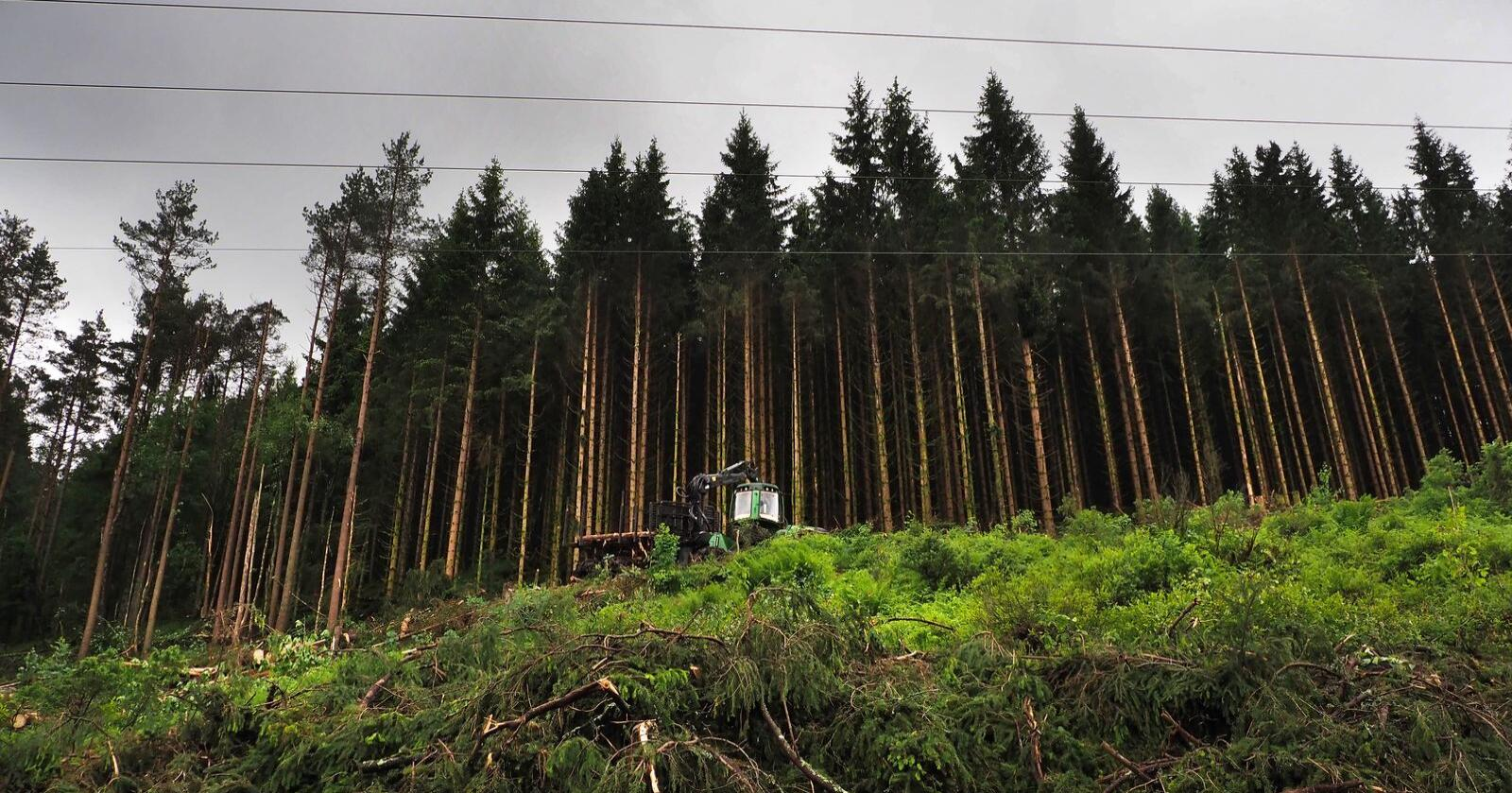 Skogen skal brukes som et viktig verktøy i kampen mot Norges CO2-utslipp, ifølge regjeringen. Illustrasjonsfoto: Siri Juell Rasmussen