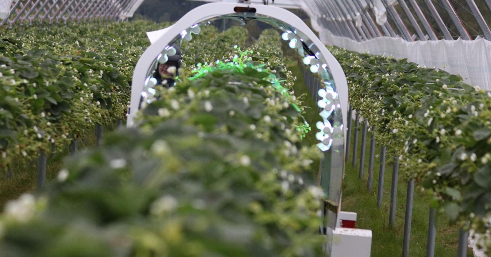 THORVALD: I fjor ble jordbærplanter på table top UV-behandlet av den norske landbruksroboten Thorvald. Foto: Dag Idar Jøsang