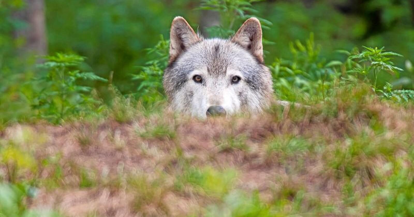 Jaktkvoter på ulv var tema under onsdagens møte mellom Rovviltnemndene i regionene 4 og 5 mandag. Foto: Colourbox
