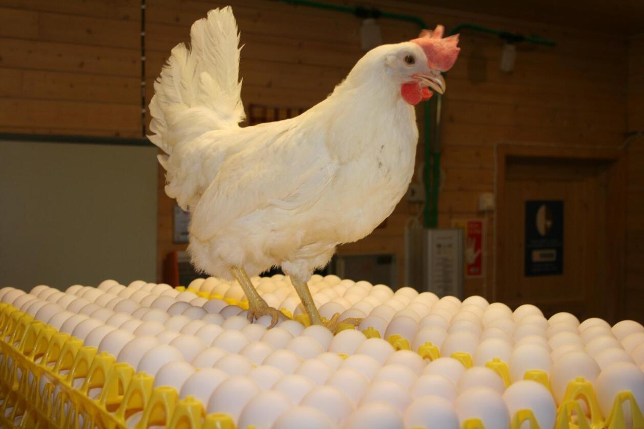 Nortura har levert veldig mange egg til butikkene. Foto: Bjarne Bekkeheien Aase