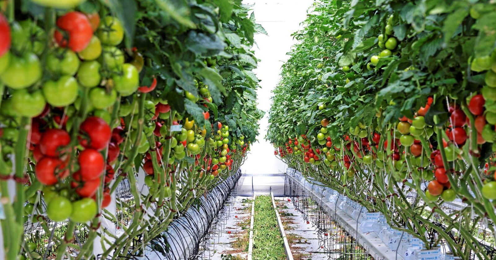 To av tre tomater som spises i Norge importeres, ifølge Michel Verheul. Foto: Siri Juell Rasmussen