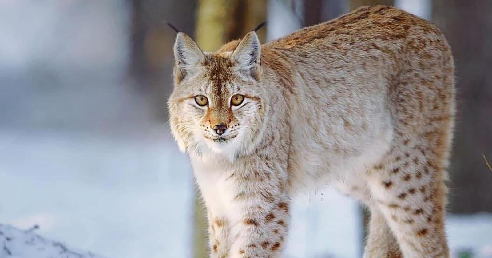Gaupa er det eneste ville kattedyret i Norge. Arten er utbredt i skogstrakter over det meste av landet, men tettheten er størst på Østlandet og i Midt-Norge.Foto: Pixabay