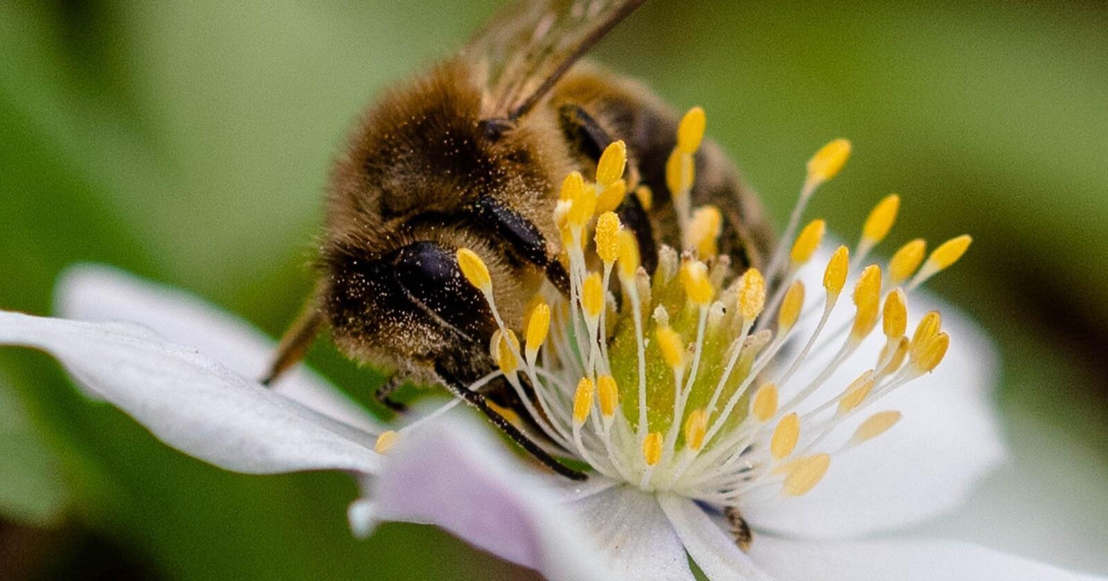 En tredel av bieartene i Norge er truet av utryddelse.Foto: Dan Aamlid