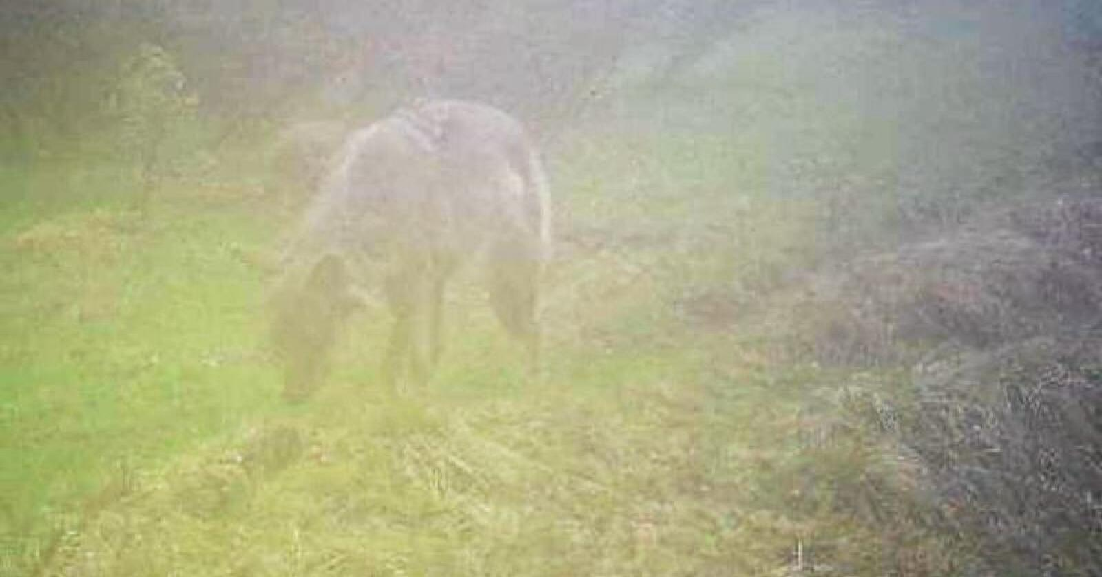Denne ulven ble fotografert med viltkamera i Gammeldalen i Tynset i Hedmark ved fem-tiden torsdag morgen. Foto: Skadefellingslagene i Nord-Østerdalen
