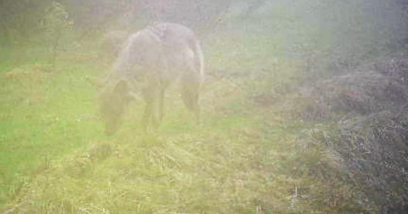 Denne ulven dukket opp på et viltkamera i Tynset 6. juni. Foto: Skadefellingslaget i Nord-Østerdalen