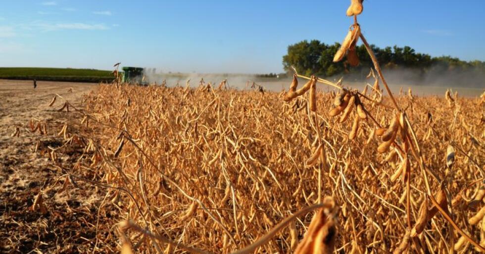 I USA kan cateringbransjen nå ta i bruk en genredigert soyaplante. Bildet viser høsting av soya, som ikke er genredigert, i Minnesota. (Arkivfoto)