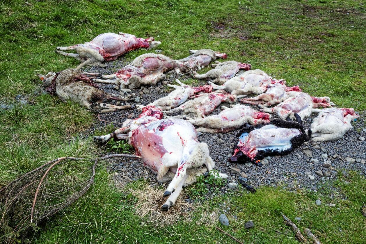 Rundt 100 sau og lam har blitt drepne av ulv i grenseområda mellom Oppland og Akershus fylke. Disse blei drept i Gran kommune. No vil bondeorganisasjonane at dei utsette bøndene skal få nasjonal hjelp. Foto: Frode Hansen/VG/NTB