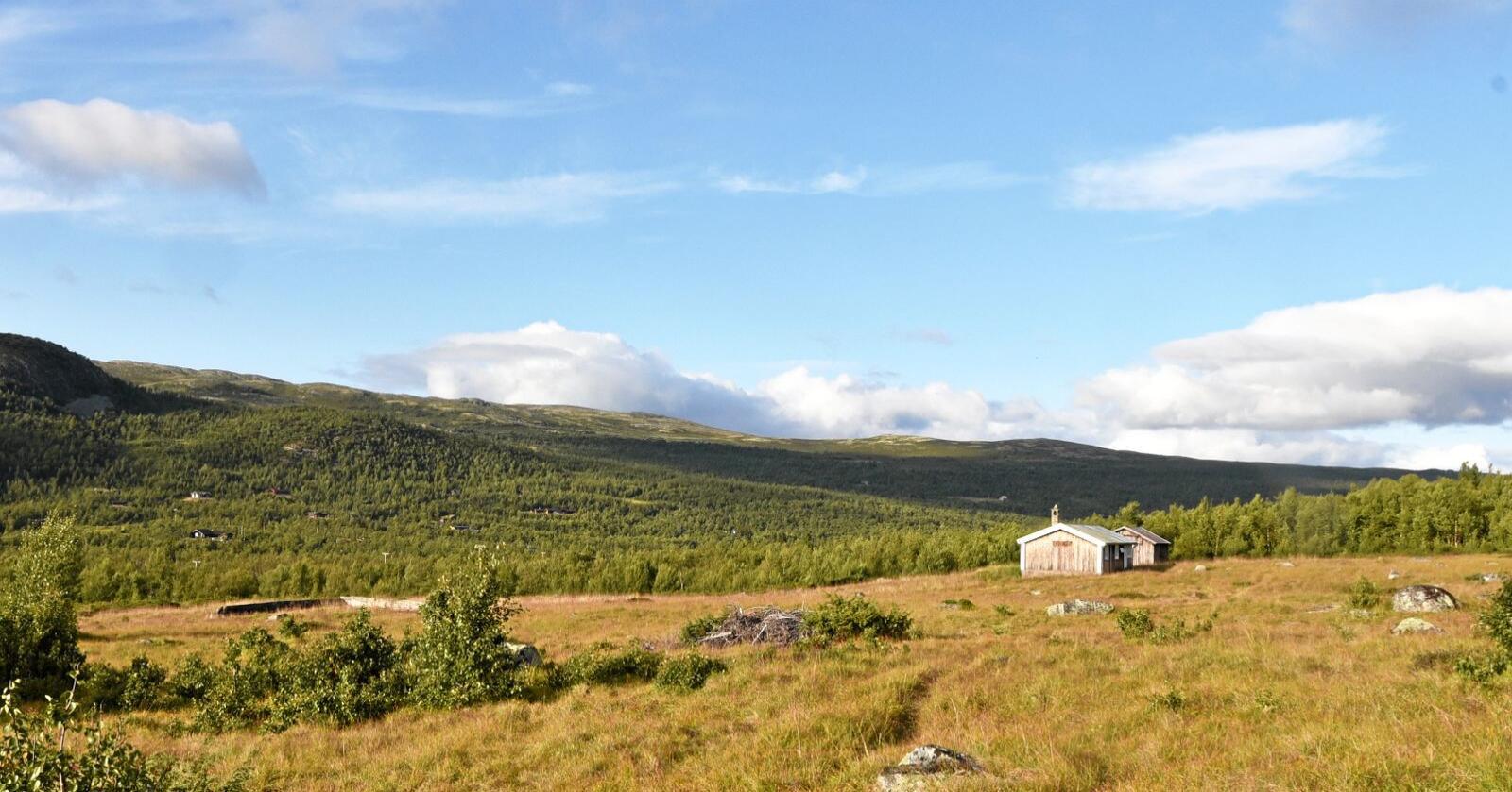 At husdyr beitet i fjellet og på setervollene gjør at landskapet forblir åpent, som her i Jønndalen, Nore og Uvdal.Foto: Bolette Bele