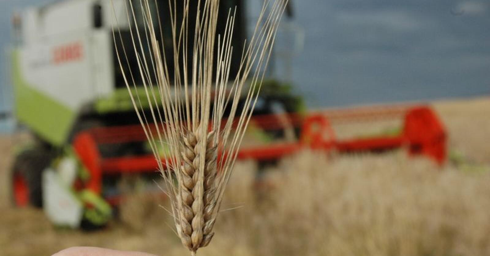 Korn taper: Grasarealet går tilbake i Nord-Norge og Vestlandet. Samtidig øker grasproduksjonen på Østlandet. – Det er kun de aller beste kornavlingene, med den aller høyeste kornprisen, som klarer å konkurrere med dekningsbidraget for gras, sier Per Christian Rålm. Foto: Lars Olav Haug