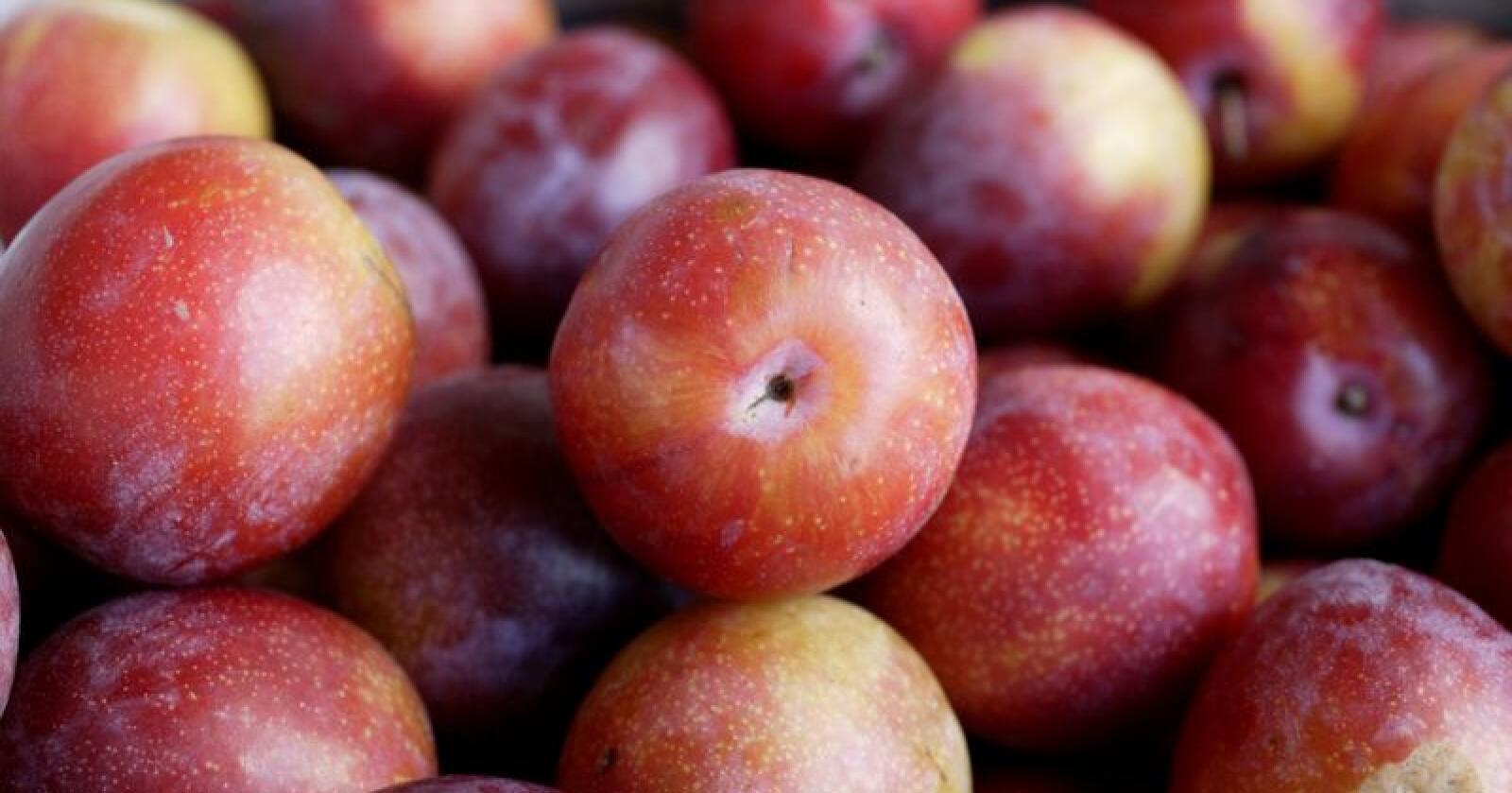 Økobonden Lars J. Nå taper om lag 140.000 på å produsere økologiske plommer. Salet av økologisk frukt går ned i daglegvarehandelen. Frukta som ikkje blir selt går ofte som ordinær vare. Foto: Berit Roald / NTB scanpix / NPK