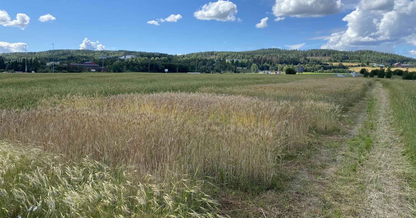 Mangfold: Tar du turen til Hellerudsletta utenfor Oslo 23. august kan du studere over 100 høst- og vårkornsorter på ett sted. Foto: Norges Vel
