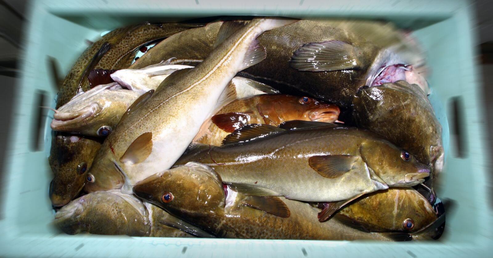 Norge og Storbritannia klarte ikke å bli enige om gjensidig adgang til fiskefarvann og kvoter på felles bestander. Illustrasjonsfoto: NTB