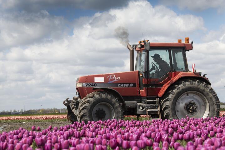 Tungt: En rød Magnum blant rosa tulipaner ser kanskje feminint ut, men arbeidet i denne åkeren var både tungt og krevende.