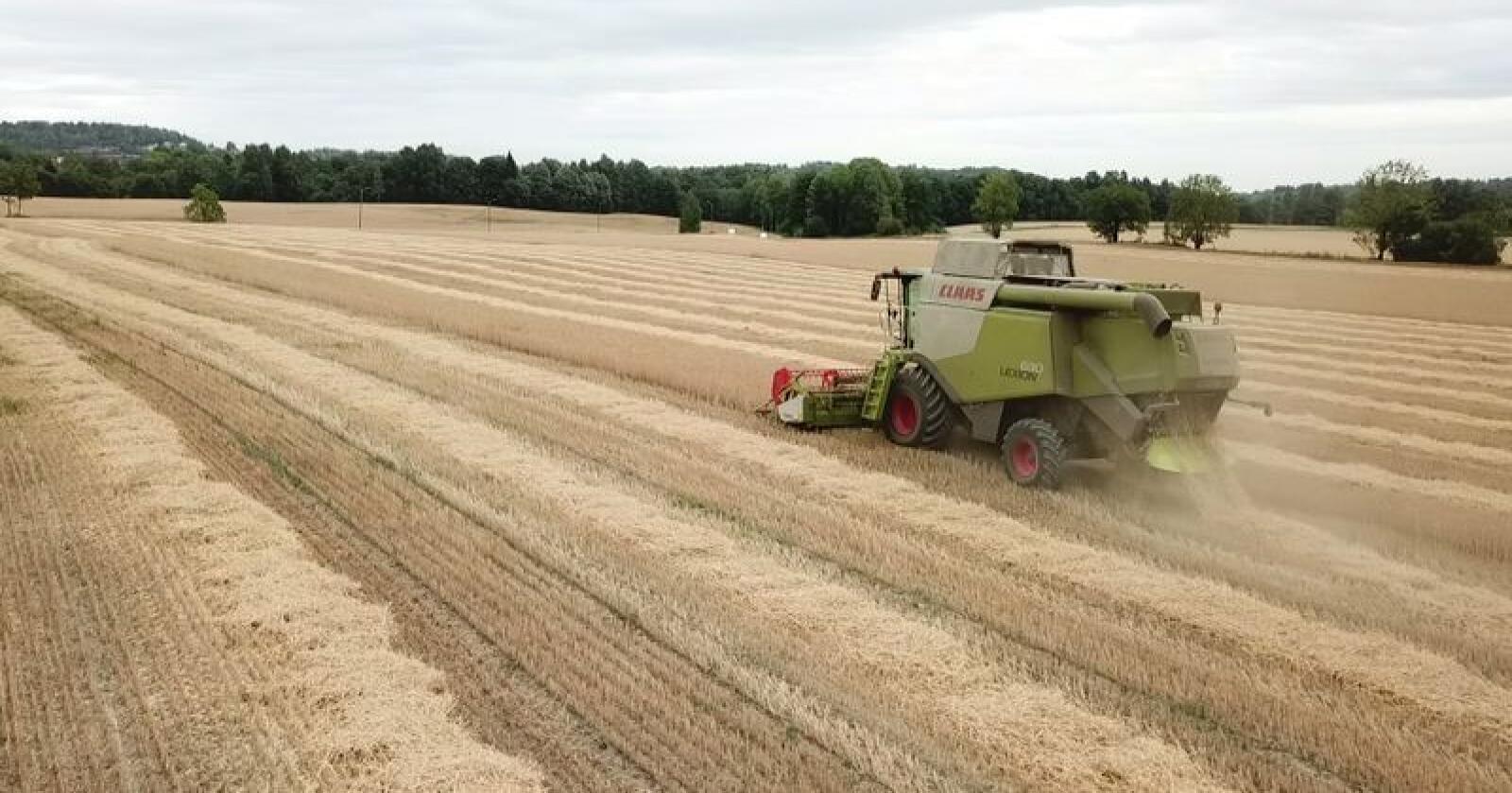 Arealet med høsthvete som ble i sådd i fjor har gitt gode avlinger. Det er prognosert et overskudd på 78 000 tonn av disse sortene, klasse 4 og 5. Bildet er fra Bryn gård i Bærum. (Foto: Erik Friis Røkholt)