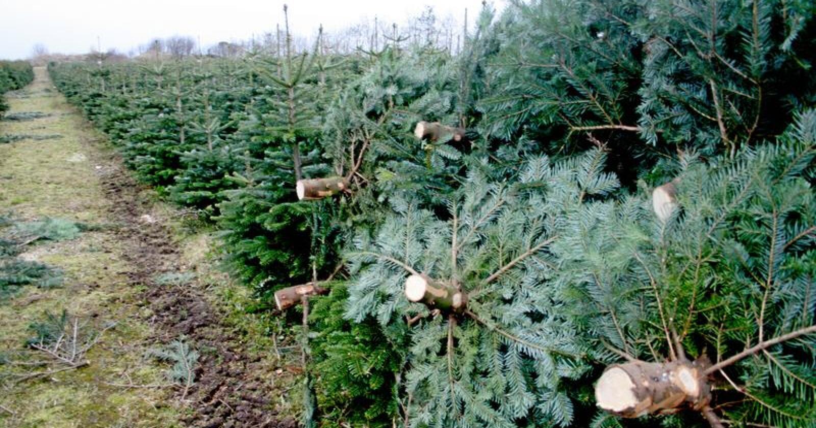 Små produsenter av juletrær må dumpe prisene for å matche butikkene. Foto: Bjarne Bekkeheien Aase