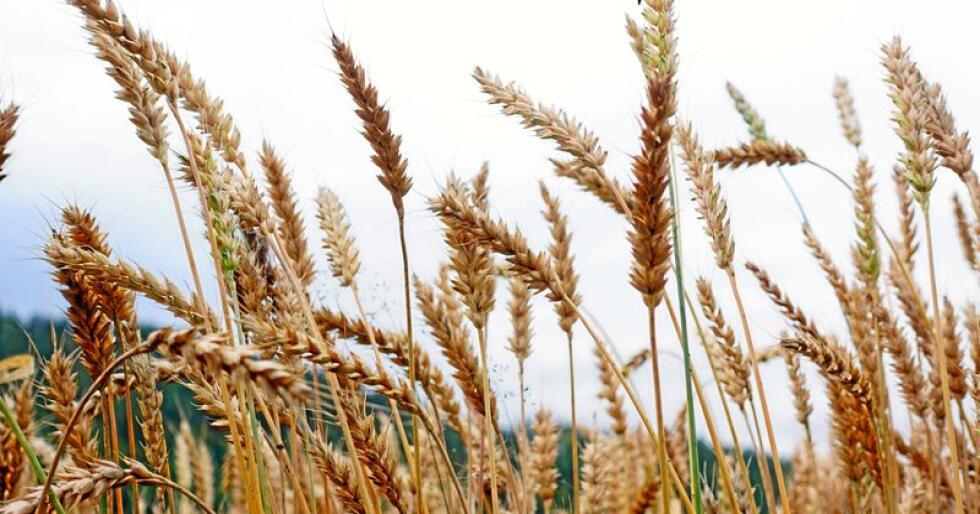 Prognosene for årets kornsesong er klar. Den viser gode avlingstall. Foto: Benjamin Hernes Vogl.