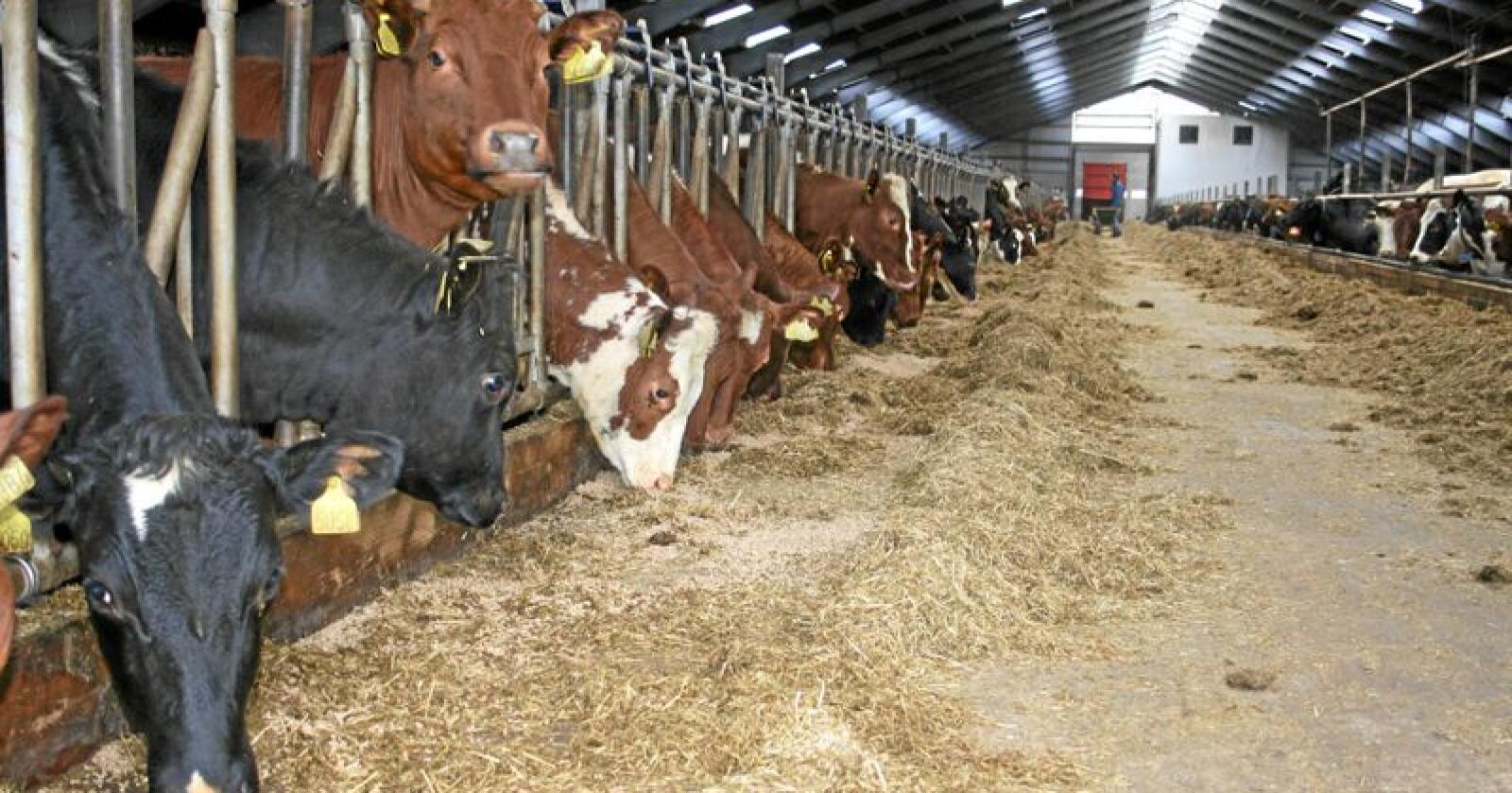 Normalt: Gras og kraftfôr med norsk korn gir normalt klimaavtrykk, skriver innsenderen. Foto: Bjarne B. Aase.