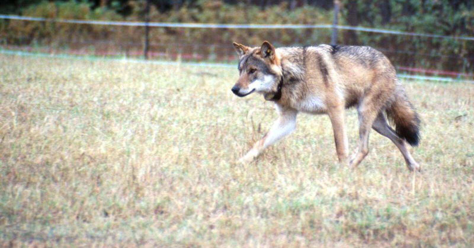 I 2019 ble det utbetalt til sammen 249 000 danske kroner for tap forårsaket av ulv i Danmark. Illustrasjonsfoto: Lars Gangås, SNO
