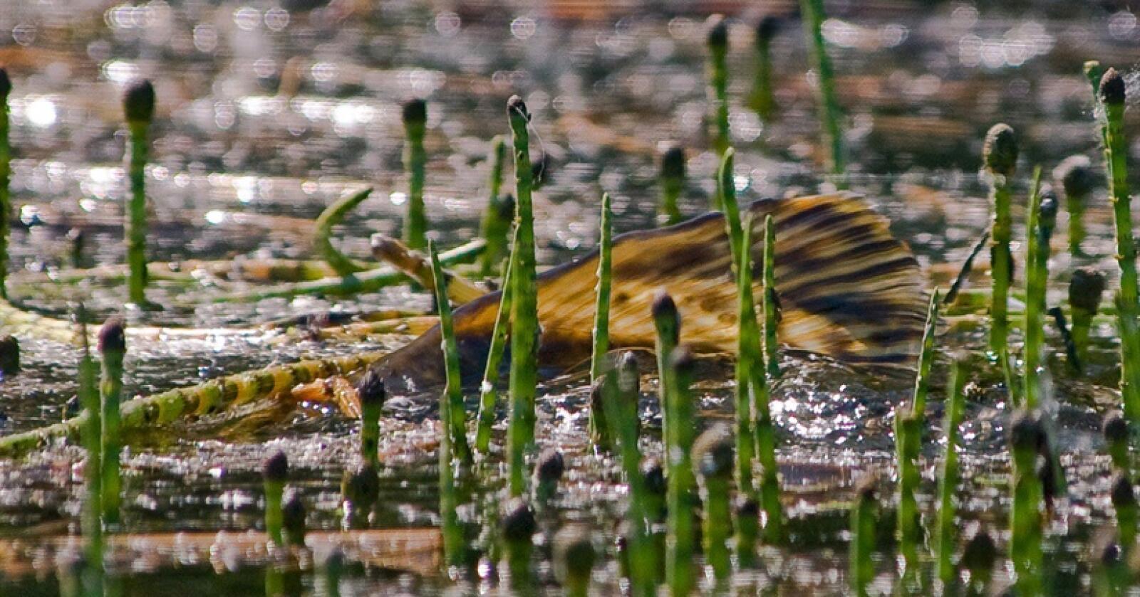 Gjedde er en av artene NINA har foreslått en tiltaksplan for, for å hindre spredning i Telemarkskanalen.Foto: Børre K. Dervo / NINA