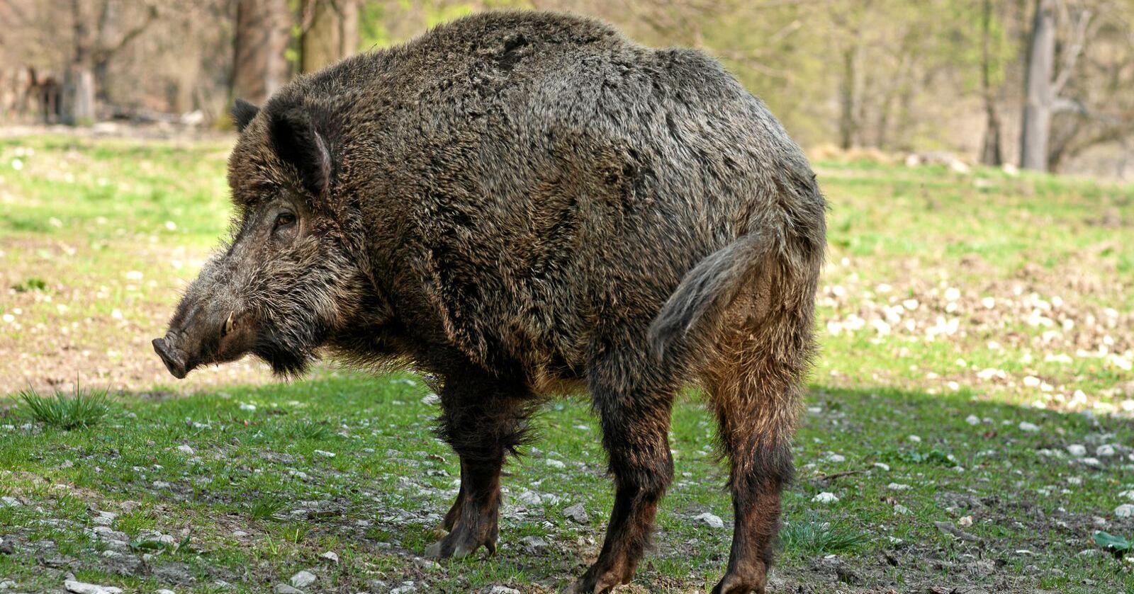 Over 800 villsvin har blitt påvist med afrikansk svinepest i Belgia. Nå er de erklært fri for den dødelige dyresykdommen. Foto: Colourbox
