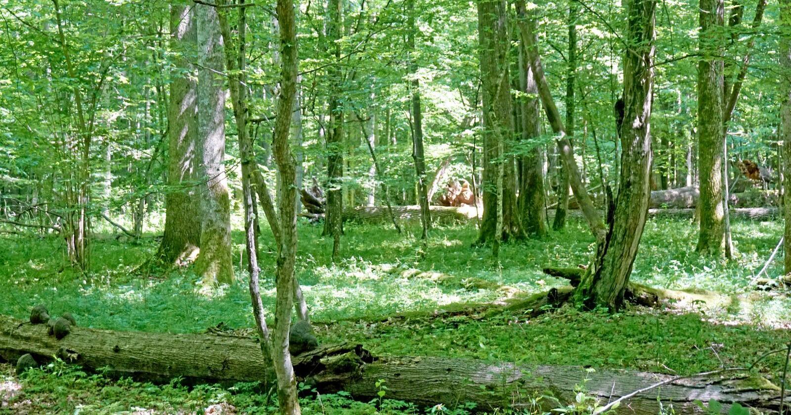 Dekket Europa: Mektige eiker, ask og lindetrær og mer. Frodig edelløvskog dekket en gang store deler av Europa. I dag er utbredelsen kun en brøkdel av det den en gang var. Foto: Björn Nordén / NINA