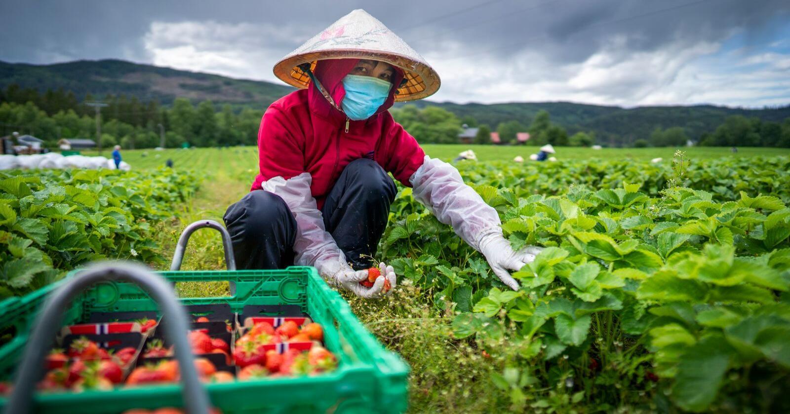Tung jobb: Det er ikke gjort i en håndvending å skaffe 30.000 motiverte sesongarbeidere innenfor landegrensene. Foto: Heiko Junge / NTB