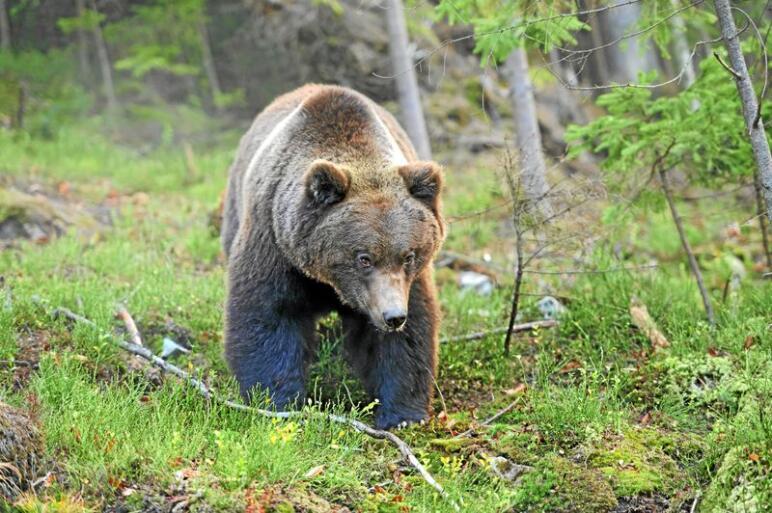 Svenske jegere får lov til å jakte inntil 300 bjørner i lisensjakta fra midten av august til midten av oktober. Foto: Colourbox
