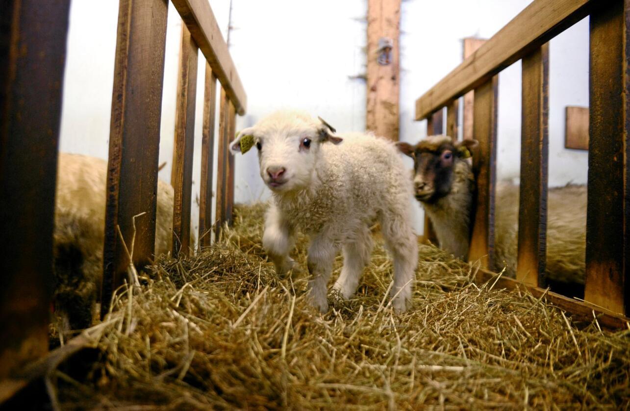 Mange bønder sliter med å skaffe god nok hjelp til lamminga, nå som det er strengere innreiseregler som en følge av koronapandemien. Foto: Mariann Tvete