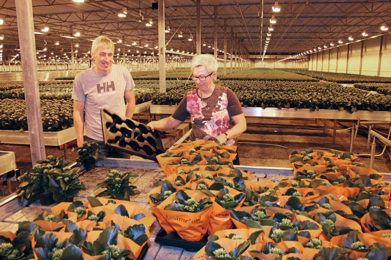Gartnerisatsing: Trond Hodne (t.v.) trur investeringa vil styrke gartneriet i konkurransen. Her saman med ei av dei ti tilsette, Torunn Vaule. Ho har jobba der i 23 år og seier det nye veksthuset gjer arbeidskvardagen enklare. Foto: Bjarne Bekkeheien Aase